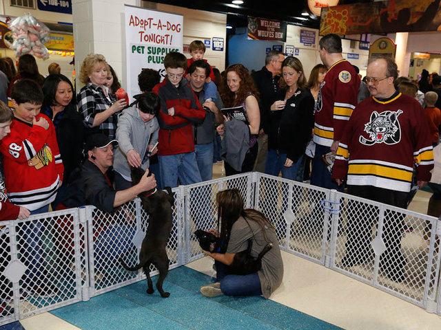 <p>Chicago Wolves fans have adopted more than 1,000 dogs since the team started its Adopt-A-Dog Nights 12 seasons ago.</p>