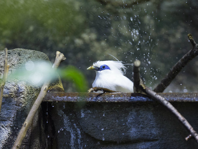 <p>Lincoln Park Zoo participates in the Bali mynah Species Survival Plan, a shared conservation effort by zoos throughout the Association of Zoos and Aquariums.</p>