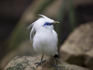 The Bali mynah is a critically endangered species.