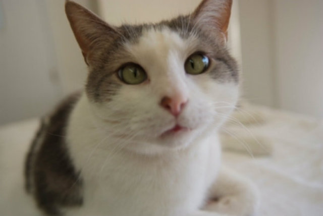 <p>Charlemagne is a shorthair male between 7 and 10 years old who has been at Red Door Animal Shelter since 2006.</p>