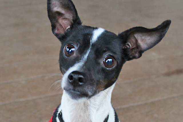 <p>Corky is a rat terrier mix at Paws Chicago. She was adopted from the shelter in 2007 but returned in April of this year.</p>