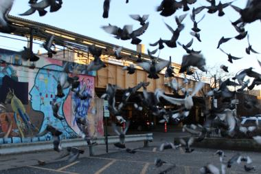 James Cappleman and the chamber of commerce argue that pigeons hurt business.