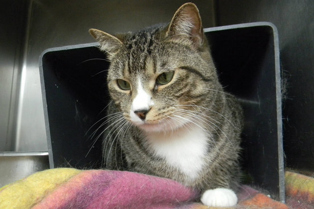 <p>Sake is a 4-year-old brown tabby mix available for adoption at The Anti-Cruelty Society. She came to the shelter in May.</p>