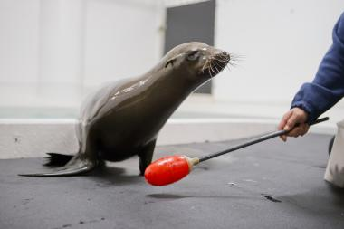 Tanner and Cruz, new additions to the Shedd Aquarium's sea lion family, both avoided death row by coming to Chicago.
