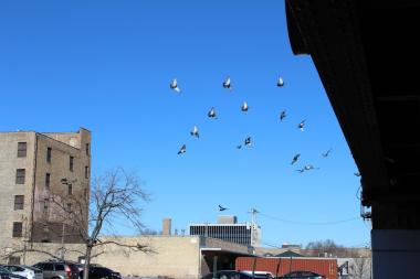 Pigeons in Uptown.