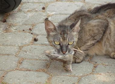 Feral cats are a divisive issue for the Chicago Audubon Society and the Anti-Cruelty Society.