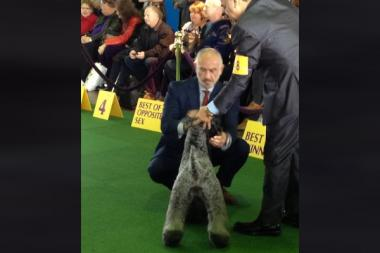 Veterinarian Jerry Klein examines a Kerry Blue Terrier as a judge at Westminster Kennel Club's 2013 dog show.