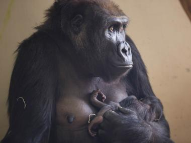 Nayembi, a baby gorilla at the Lincoln Park Zoo, is recovering after she was seriously injured last week. Zoo officials said she suffered a serious facial injury.