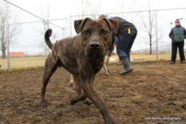 Animal Care And Control Chicago Adoptable Dogs