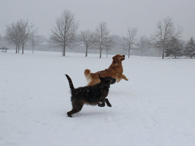 <p>Two pooches cavort through the snow Tuesday afternoon at Winnemac Park in Ravenswood.</p>