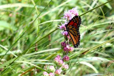 A Monarch butterfly rests in the prarie grass at the Lincoln Park Zoo's Nature Boardwalk on Aug. 15.