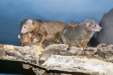 The two baby mongooses were born on Nov. 19, but parents brought the babies out to display in early December.