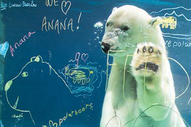 The Lincoln Park Zoo's polar bear, Anana, is being kept in a climate-controlled area through 'Chiberia.'