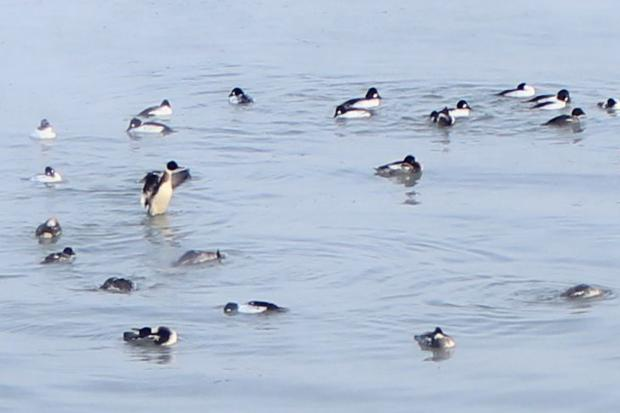 Breeds of ducks more common to the coasts of the Hudson Bay were spotted off Promontory Point Monday.