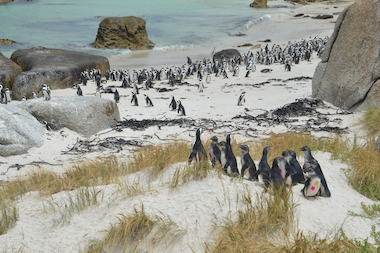 Shedd Aquarium employees are feeding abandoned penguin chicks like these on the coast of South Africa.