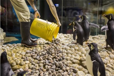 Shedd Aquarium Staff Set The Mood for Penguin Mating Season