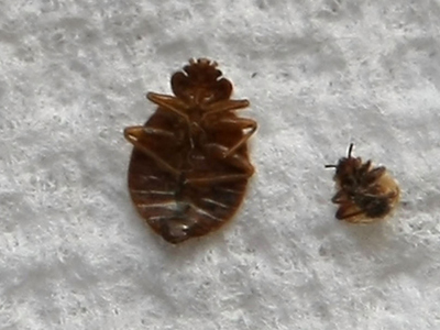 <p>Bedbugs seemed to be everywhere. They were found in the Empire State Building in August, 2010. A patient at NYU&#39;s Hospital for Joint Disease reported seeing one there on Dec. 1, 2010, causing the hospital&#39;s partial evacuation, but it was a false alarm.</p>