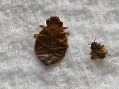 The number of bed bugs reported to 311 dropped for the first time since the system was launched.