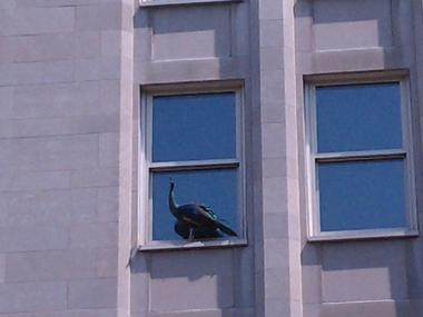 A peacock that escaped from the Central Park Zoo was hanging out on a window sill Tuesday afternoon.