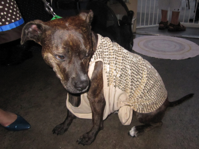 Bailey, a pit bull mix, wore an old sequined women's shirt from Express.