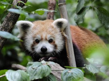 The Central Park Zoo added BIru, a red panda, in August, 2011.