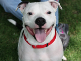 Free Pit Bull Training Aims to Improve Perception of Breed