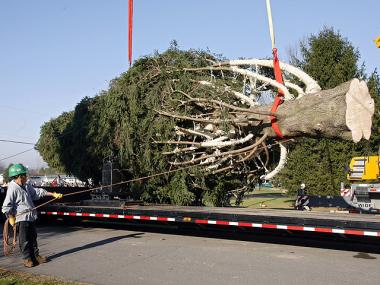 The Rockefeller Christmas tree  was cut down in Pennsylvania on Nov. 9, 2011.