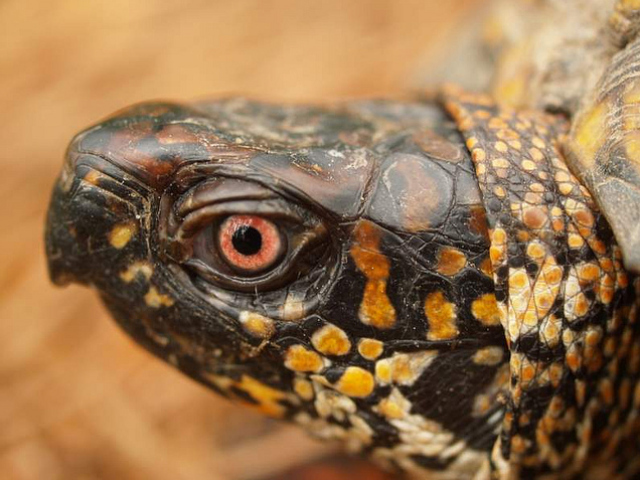 The eastern box turtle is a native of the United States east coast.