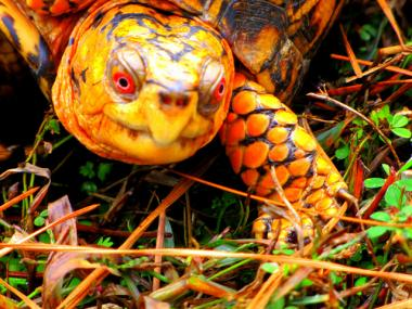 Urban Park Rangers are on high alert after an eastern box turtle went missing in Inwood HIll Park.