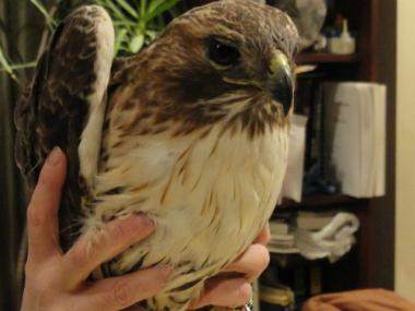 Violet the Hawk died Dec. 29, 2011.