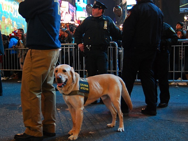 This explosive detection dog was hard at work in Times Square on New Year's 2012.