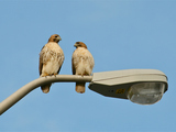 Riverside Park's New Hawk Couple Takes Soaring Relationship to Next Level
