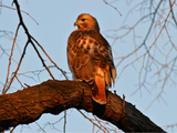 Beloved Female Hawk Found Dead in Riverside Park