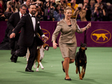 Westminster Dog Show Still On After Snowstorm