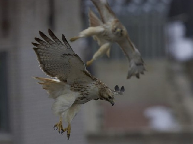 Pale Male and Lima during mating season last year. Lima was found dead on Feb. 26, 2012.
