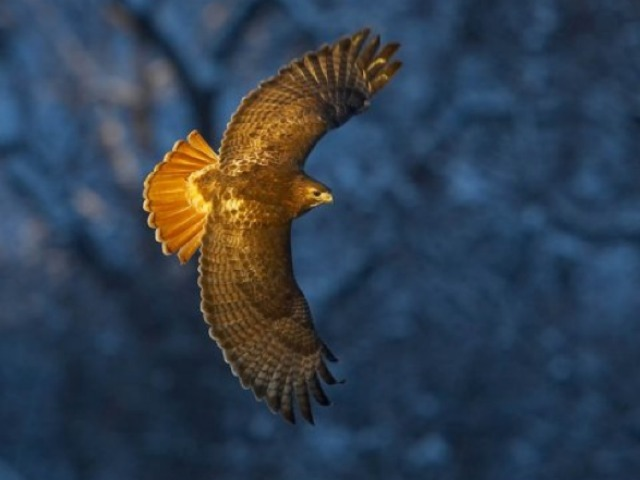 An image of the famed red-tailed hawk Pale Male.