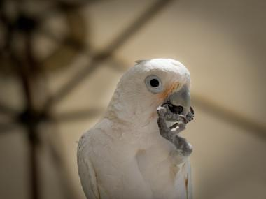 A white Goffin cockatoo, similar to Bolo, the beloved bird of slain Chelsea man John Laubach.