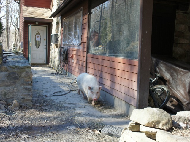 A pig on Anna Gristina's property in Monroe, New York on Tuesday.