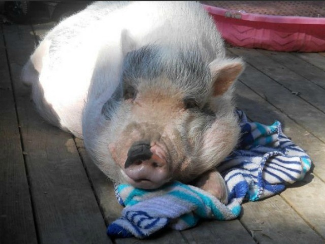 Anna Gristina posted pictures on Facebook of  beloved pigs.