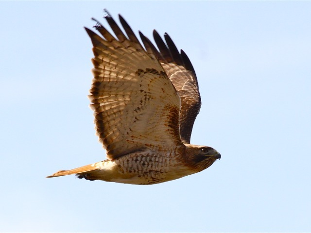 Birders are concerned that rat poison that they believe local museums are using is endangering the red-tailed hawk population. Several hawks have already died as a result of rat poisoning.