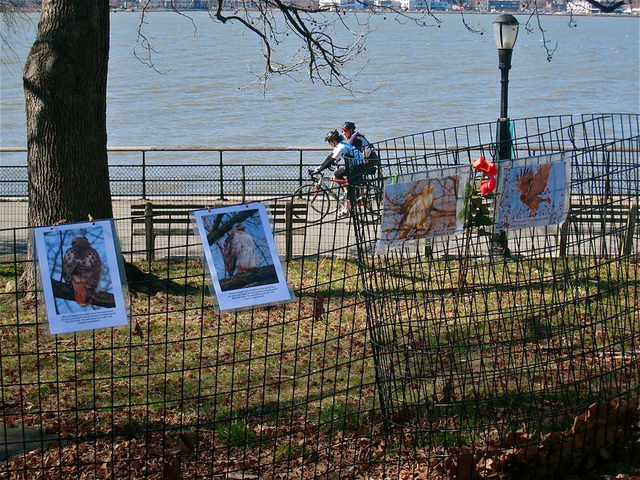 Fans of Riverside Park's female red-tailed hawk left photos and flowers at her nest just north of the Boat Basin Cafe after the raptor was discovered dead on March 9, 2012.