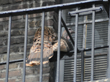 Wild Turkey Flies Away From Washington Heights Fire Escape