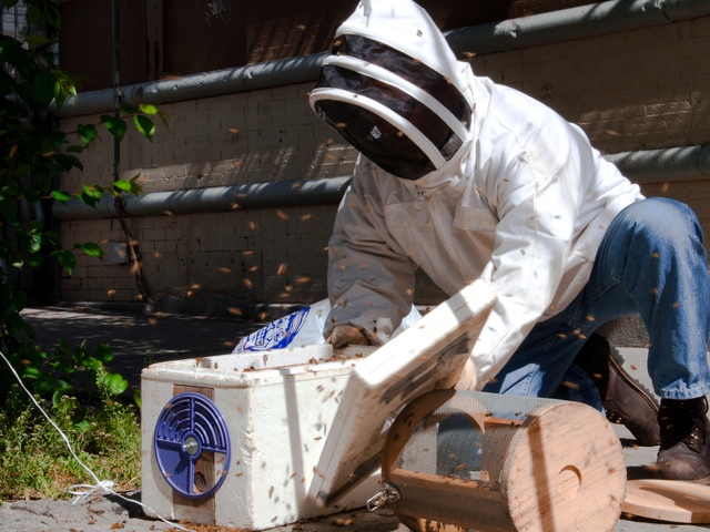 <p>Tony Planakis, the NYPD&#39;s go-to guy for bees, removes a hive from a tree at the corner of 188th Street and Melrose Avenue in the South Bronx, May, 2012.</p>