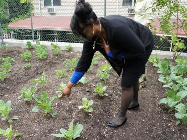 One of the community gardens run by the Bed-Stuy Campaign Against Hunger. Tucked away in back yards and behind churches throughout the neighborhood, these gardens have produced thousands of pounds of  food for needy families.