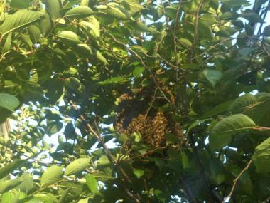 Bees clung to a tree at Melrose Avenue and East 154th Street May 11, 2012.