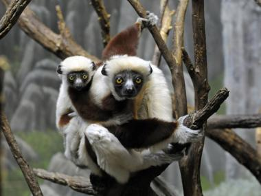 "A baby Coquerel's Sifaka lemur with its mom at the Bronx Zoo's ""Madagascar!"" exhibit."