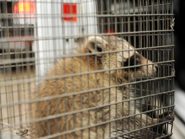 A baby Raccoon is captured from an office at 223 Brighton Beach Avenue in Brooklyn on Monday June 4th, 2012.