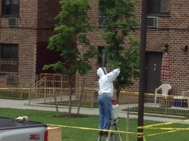 About 3 pounds — or 9,000 bees — were removed from a tree inside a courtyard at a Herkimer Street building on Tuesday, June 5, 2012.