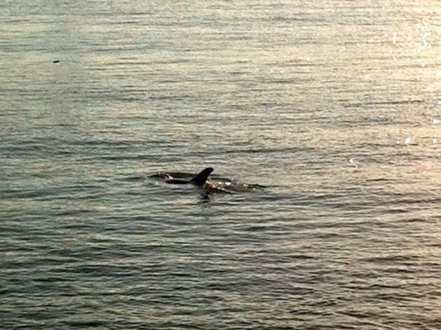 Onlookers spotted a dolphin swimming near West 14th Street and the Hudson River on Sunday.