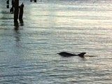 Dolphin Spotted Swimming in the Hudson River